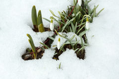 Snowdrop bloom in springtime under snow Royalty Free Stock Image