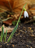 The snowdrop blooms Royalty Free Stock Photos