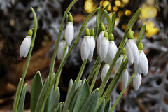 The snowdrop blooms Royalty Free Stock Image