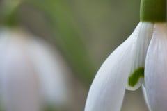 Snowdrop blossom Royalty Free Stock Image
