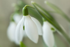 Snowdrop blossom Royalty Free Stock Photography