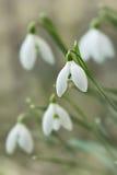Snowdrop blossom Stock Photos