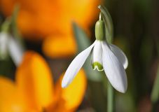 Snowdrop, Blossom, Bloom, Flowers Royalty Free Stock Images