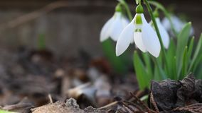 Snowdrop is blowing the wind in the forest. stock footage