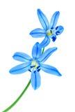 Snowdrop blue Stock Photos