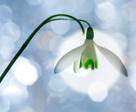 Snowdrop. And a blue background stock photography
