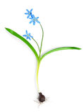 Snowdrop blue isolated Stock Image