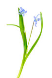 Snowdrop blue isolated on a white background Stock Photography