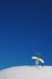Snowdrop and blue sky Royalty Free Stock Photography