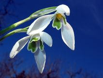Snowdrop with blue sky. A white snowdrop in the spring sunlight with a dark blue sky as background Stock Photos