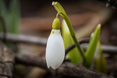 Snowdrop Blume Lizenzfreie Stockbilder