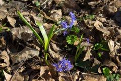 Snowdrop Blumen Lizenzfreie Stockfotografie