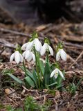Snowdrop Blumen stockfotografie