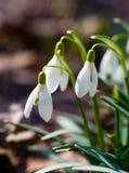 Snowdrop Blumen Stockbild