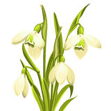 Snowdrop Blumen Stockfotos