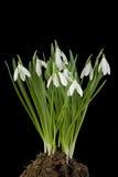 Snowdrop Blumen herausgeschnitten stockfotos