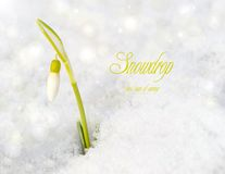Snowdrop with bokeh. Stock Photo