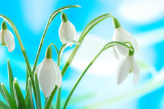 Snowdrop branco Imagens de Stock Royalty Free
