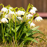 Snowdrop with bud, spring flower in the awakening of flowers. Stock Images