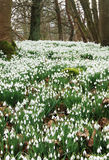 Snowdrop Carpet Royalty Free Stock Images