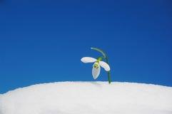 Snowdrop che cresce nella neve Immagine Stock Libera da Diritti