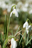 Snowdrop close up Stock Photos