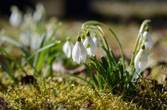 Snowdrop. Close-up of snowdrop in spring growing on moss Stock Photos