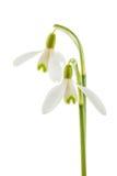 Snowdrop común foto de archivo libre de regalías