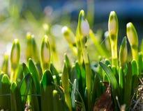 Snowdrop com flor, flor com botão, o despertar da mola da natureza Fotografia de Stock