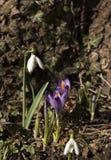 Snowdrop com o açafrão sativus Fotos de Stock