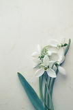 Snowdrop. Common Snowdrop (Galanthus nivalis), close up royalty free stock photography