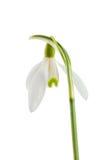 Snowdrop comum Imagens de Stock Royalty Free