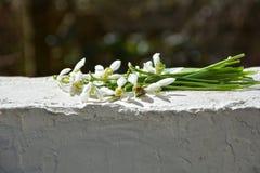 Snowdrop con el insecto en la pared blanca Imagen de archivo libre de regalías