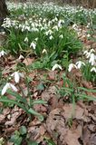 Snowdrop covered woodland floor Stock Photos