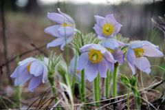 Snowdrop crece en el salvaje en el bosque Fotos de archivo