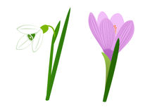 Snowdrop and crocus. On a white Stock Images