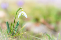 Snowdrop and Crocus flower with shallow dof of field in springti Stock Photography