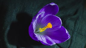 Snowdrop crocus saffron time lapse stock video