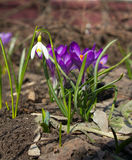 Snowdrop and Crocus Royalty Free Stock Images
