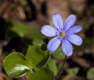 Snowdrop da flor Fotografia de Stock Royalty Free