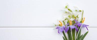 Snowdrop da mola e açafrão roxo Fotos de Stock