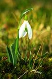 Snowdrop de la primavera Fotografía de archivo