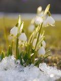 Snowdrop del copo de nieve de la primavera fotografía de archivo libre de regalías