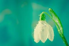 Snowdrop Stock Photography