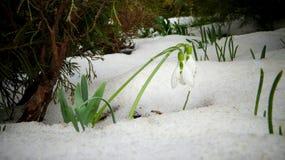 Snowdrop do ` s de Elwes do elwesii de Galanthus, maior snowdrop Fotos de Stock