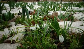Snowdrop do ` s de Elwes do elwesii de Galanthus, maior snowdrop Foto de Stock Royalty Free