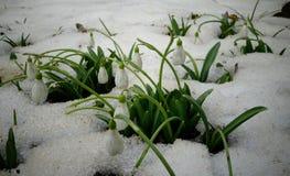 Snowdrop do ` s de Elwes do elwesii de Galanthus, maior snowdrop Imagens de Stock