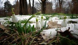 Snowdrop do ` s de Elwes do elwesii de Galanthus, maior snowdrop Imagem de Stock Royalty Free