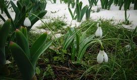 Snowdrop do ` s de Elwes do elwesii de Galanthus, maior snowdrop Fotos de Stock Royalty Free