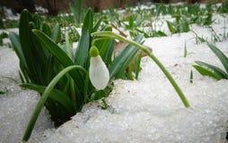 Snowdrop do ` s de Elwes do elwesii de Galanthus, maior snowdrop Fotografia de Stock Royalty Free